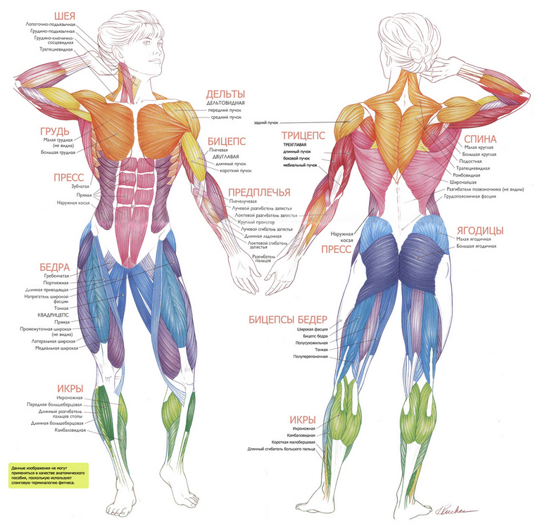 Мышца скелетная