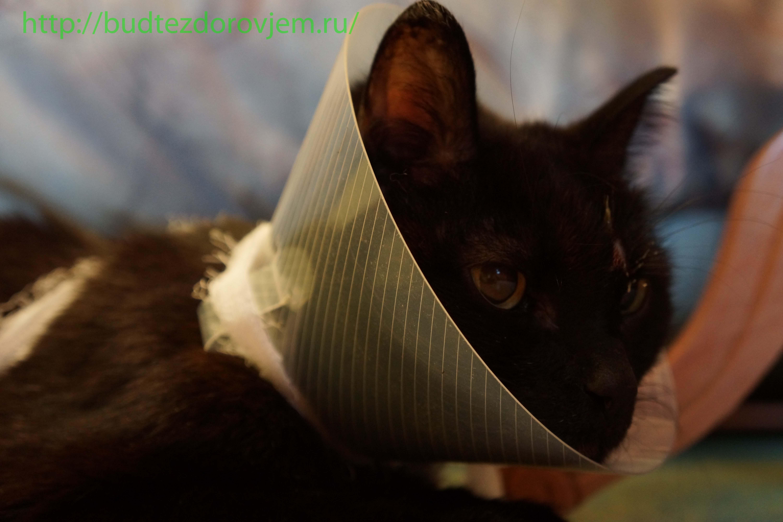 Делаем защитный воротник для кошки своими руками из