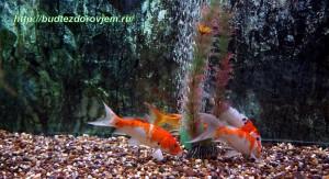 Золотые рыбки