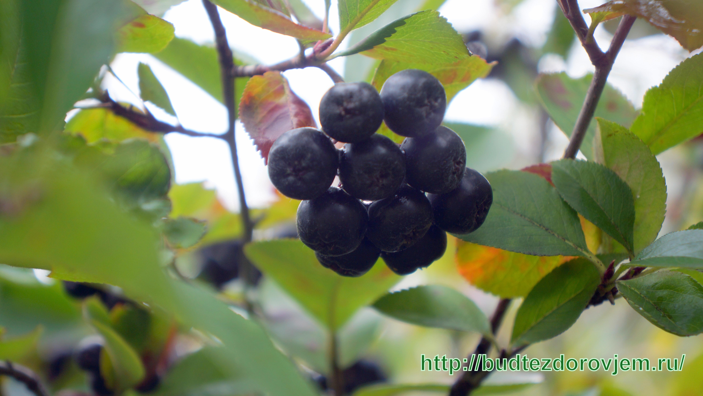 Черноплодка полезные свойства