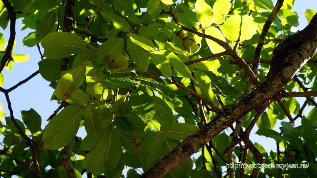 Зреющие плоды грецкого ореха